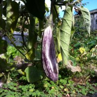 Eggplant in winter